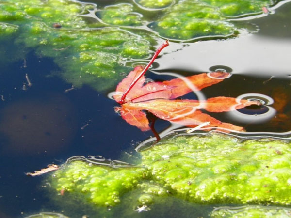 Pond UV lights can get rid of only some types of algae